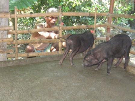Don Bosco Rural Development: Pigs